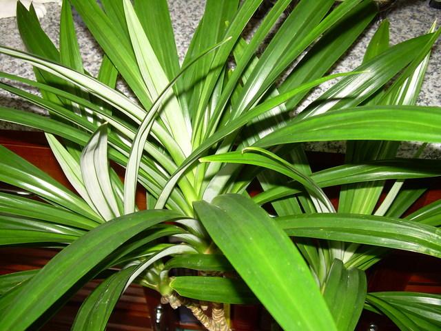 Pandanus leaves