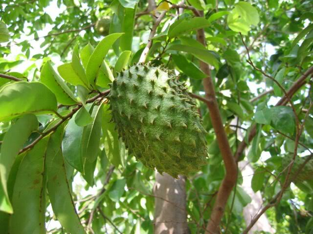 Graviola / Sugar apple