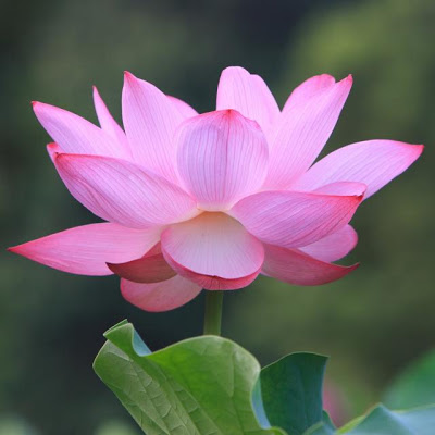 Fresh Lotus Flower